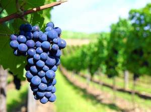 traninuri_grape_foodnews_cuibus_transylvania_romania1