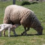 sheep_oi_reducerea_impozitului_pentru_producatorii_agricoli_food_news_romania