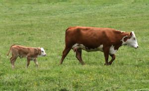 vaca_Cow_Cal_food_news_romaniaf