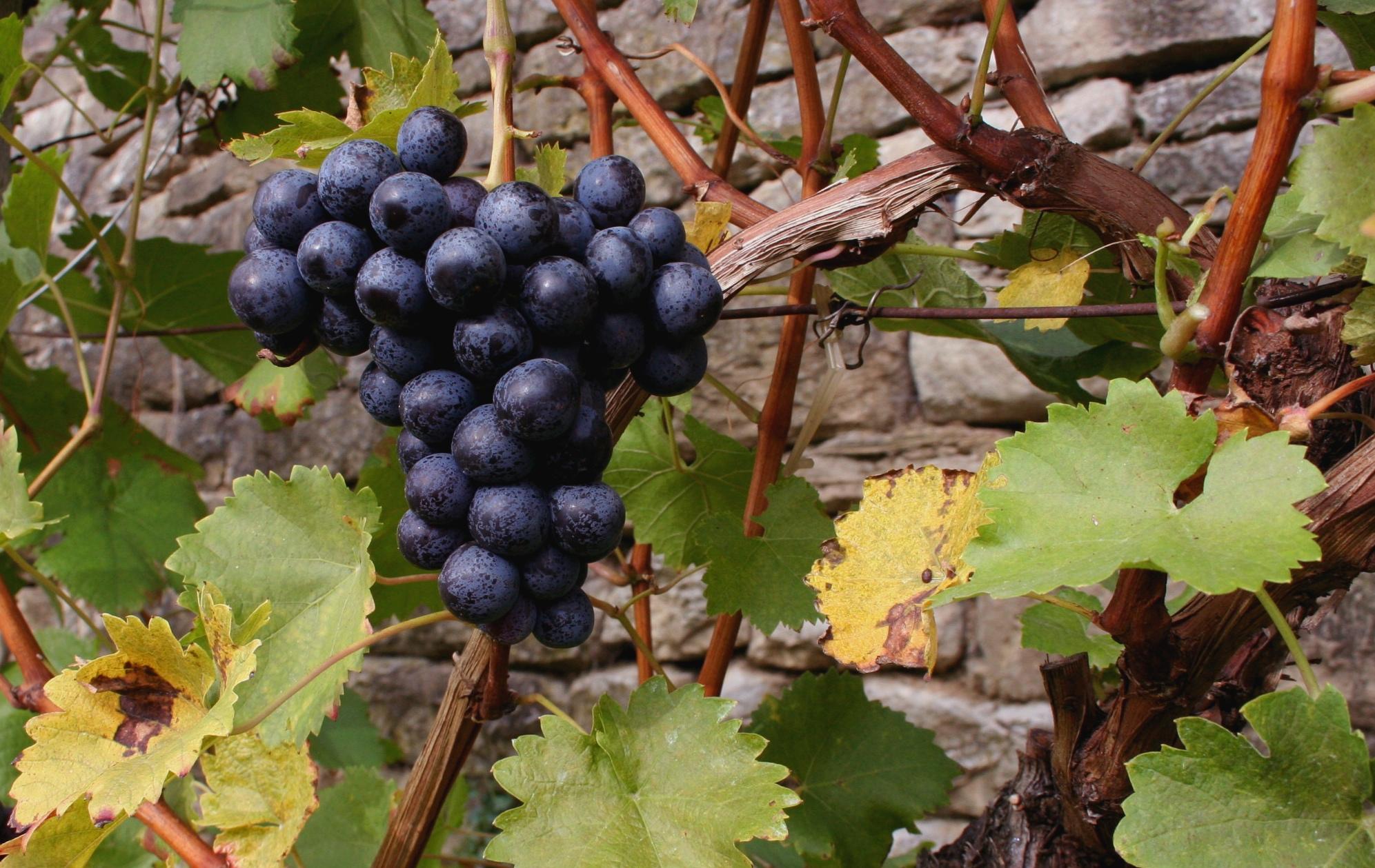 Polifenolii – sursa naturala de antioxidanti