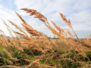 tall-summer-grains_food_news_romania