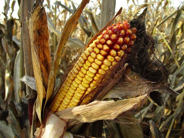 e832b80b28fc043ecd0b470de7444e90fe76e6dd18b6134793f0c0_640_corn-fields