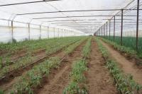 Actualizarea numărului de cereri depuse pentru obţinerea sprijinului financiar pentru tomate cultivate în spaţii protejate
