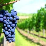 traninuri_grape_foodnews_cuibus_transylvania_romania1